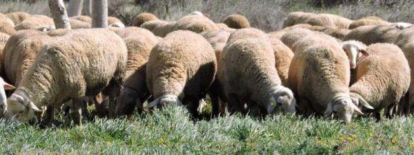 Un pastor virtual: GPS para controlar rebaños